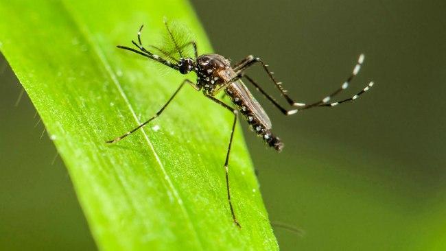 Chikungunya Mosquito cover